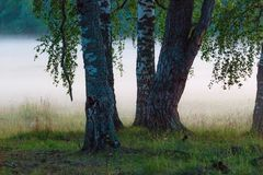 在雾的桦树 库存图片