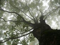 薄雾结构树 免版税库存照片