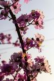 紫薇被弄脏的线 免版税库存照片