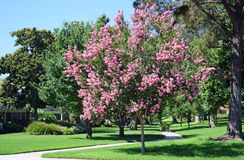 紫薇,一般叫作绉绸桃金娘或绉绸桃金娘 免版税图库摄影