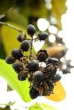 紫薇 结果被分裂对自然养殖 免版税库存图片