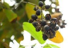 紫薇 去破裂和发布种子里面给前 免版税库存图片