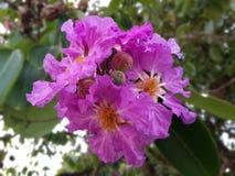 紫薇 库存照片