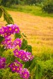紫薇floribunda在泰国开花,紫薇speciosa或者tabak树 免版税库存照片