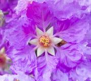 紫薇speciosa关闭 库存照片