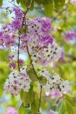 紫薇speciosa或tabak树在泰国,四季不断的植物 免版税库存照片