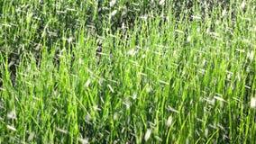 薤葱植物在庭院里,大叻市市,林同省,越南 库存照片