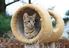 薮猫大草原小猫 免版税库存照片