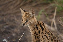 薮猫特写镜头在塞伦盖蒂国家公园 免版税库存照片