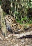 薮猫 库存照片