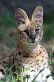 薮猫 免版税图库摄影