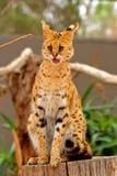 薮猫- Lepitailurus 库存图片