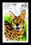 薮猫(Leptailurus薮猫),大猫serie,大约1996年 库存照片
