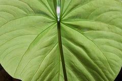 薯类叶子在后照的一片美丽的树荫下绿色 免版税库存照片