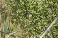 薹鸣鸟,尖头畸型schoenobaenus,唱歌在灌木在一个晴天,苏格兰, 7月,下午 免版税库存照片