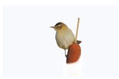 薹鸣鸟(尖头畸型schoenobaenus)。 库存图片