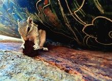 贮藏吃一只曲奇饼、镶边灰鼠或者棕榈花栗鼠在一个风雨棚在游人哺养的老塔 免版税图库摄影