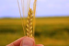 藏品麦子 库存照片
