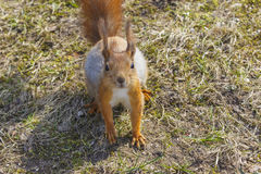 贮藏红色主题背景野生自然的动物的毛皮滑稽的宠物秋天森林 免版税库存图片