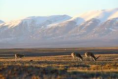 藏羚羊驴子 免版税库存照片