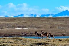 藏羚羊驴子 库存图片