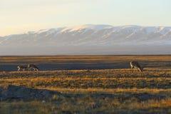 藏羚羊驴子 库存照片