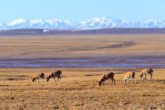 藏羚羊驴子 免版税库存图片