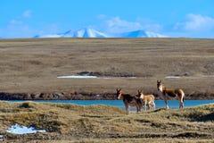 藏羚羊驴子 免版税图库摄影