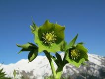 绿藜芦(嚏根草属viridis) 免版税库存照片