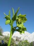 绿藜芦(嚏根草属viridis) 库存照片