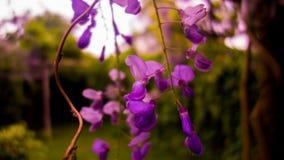 紫藤厂-蓝色/紫色花 库存照片