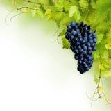 藤叶子和蓝色葡萄拼贴画  库存图片