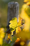 藤叶子在秋天,在10月。 库存图片