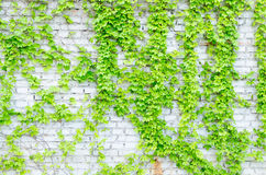 藤和墙壁 库存照片