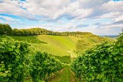 藤在一个葡萄园里在秋天-在收获前的葡萄酒 免版税库存图片