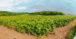 藤在一个葡萄园里在秋天 在收获意大利人酒前的葡萄酒 免版税库存图片