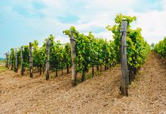 藤在一个葡萄园里在秋天 在收获意大利人酒前的葡萄酒 免版税库存照片