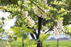 紫藤在伸出的分支的树花 库存照片