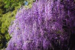 紫藤在户田水环境保护中心在京都,日本 免版税库存照片
