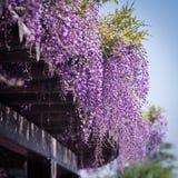 紫藤在户田水环境保护中心在京都,日本 免版税图库摄影
