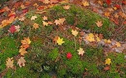 藤在青苔床上的槭树叶子  库存图片