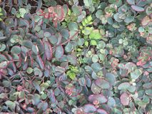 藤大补丁的多汁植物与红色和绿色蜡状的 库存照片