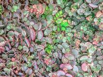 藤大补丁的多汁植物与红色和绿色蜡状的 库存图片