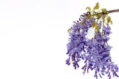 紫藤开花花卉设计元素 免版税库存照片