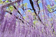 紫藤开花 图库摄影
