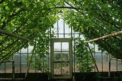 年轻藤新芽在老玻璃温室 库存图片