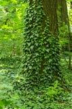 藤本植物和老树 免版税库存照片