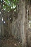 藤本植物树 图库摄影