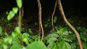 藤本植物根和被弄脏的叶子在前景 股票视频