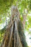 藤本植物结构树 免版税库存照片